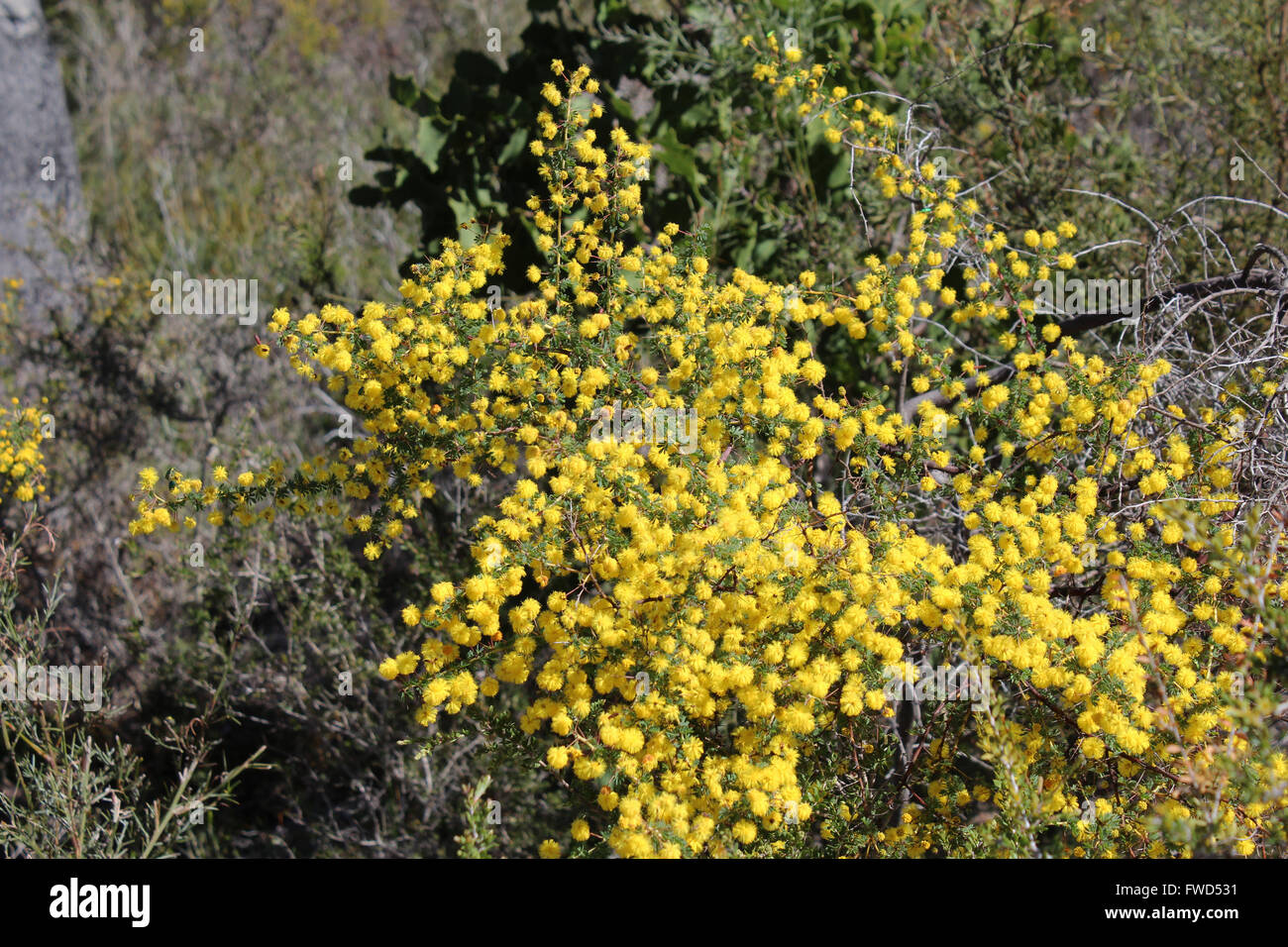 Prickly shrub stock photos prickly shrub stock images alamy fluffy yellow globular flowers of acacia pulchella prickly moses a shrub in the family mightylinksfo