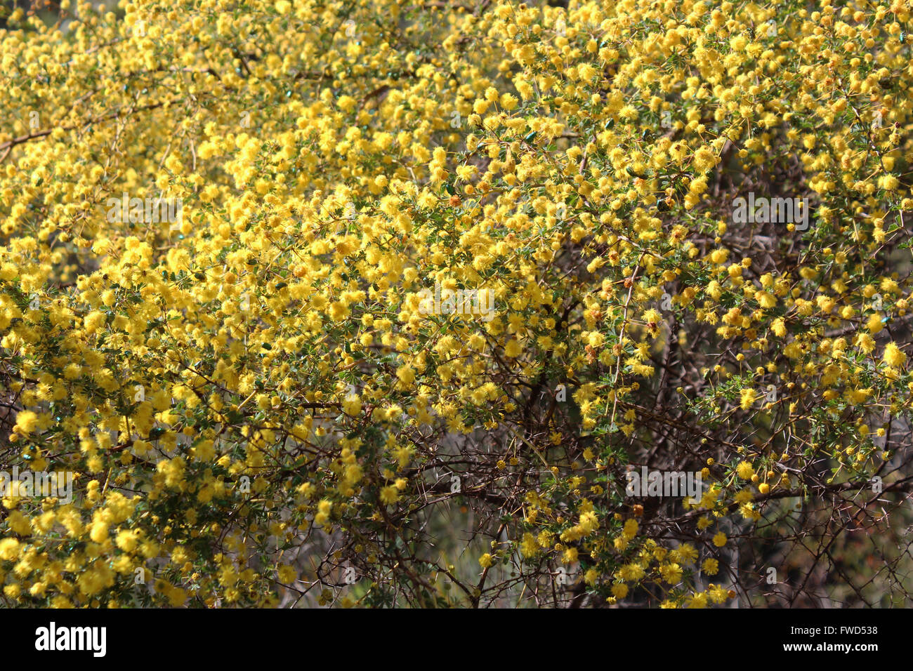 Prickly Shrub Stock Photos Prickly Shrub Stock Images Alamy