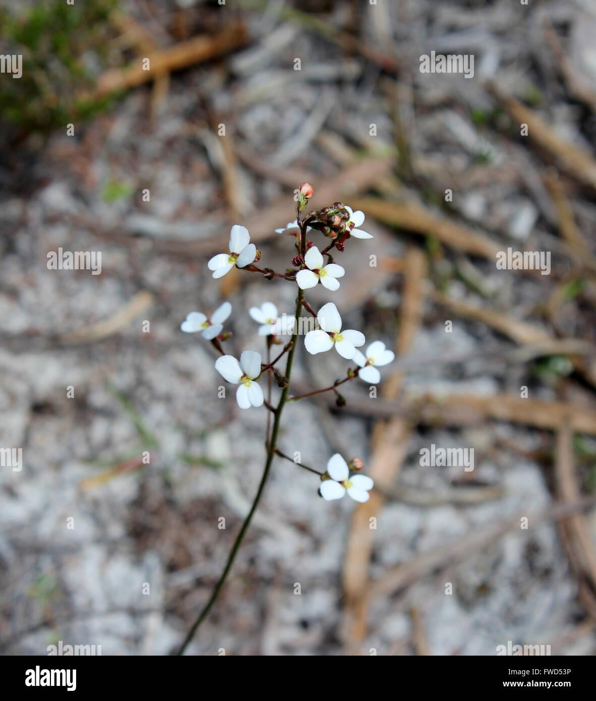 White flowers of  Western Australian wildflower Stylidium  trigger plants  growing in woodland  flowering in spring - Stock Image
