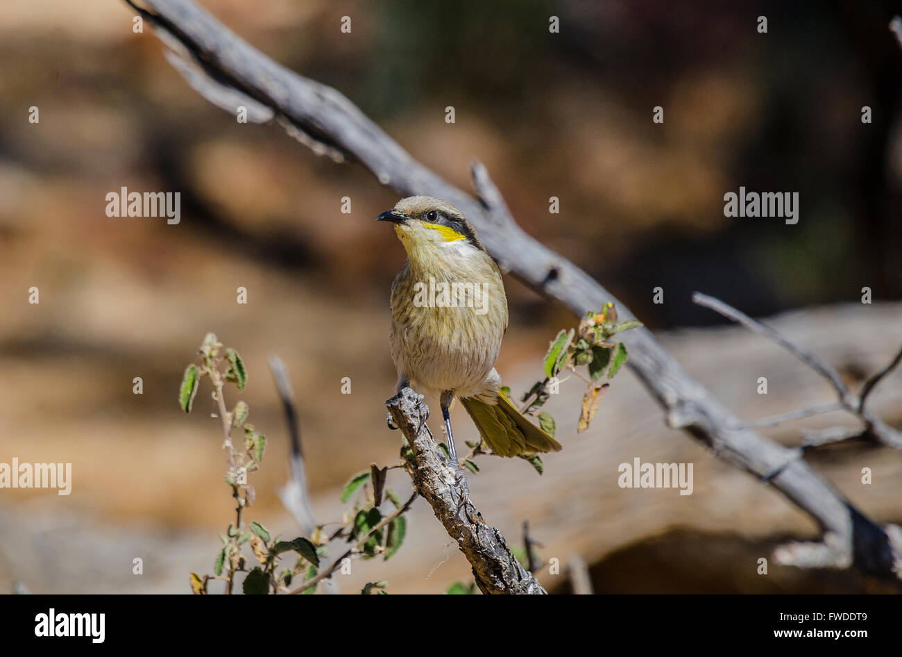 The singing honeyeater (Gavicalis virescens) is a small bird found in Australia, and is part of the honeyeater family - Stock Image