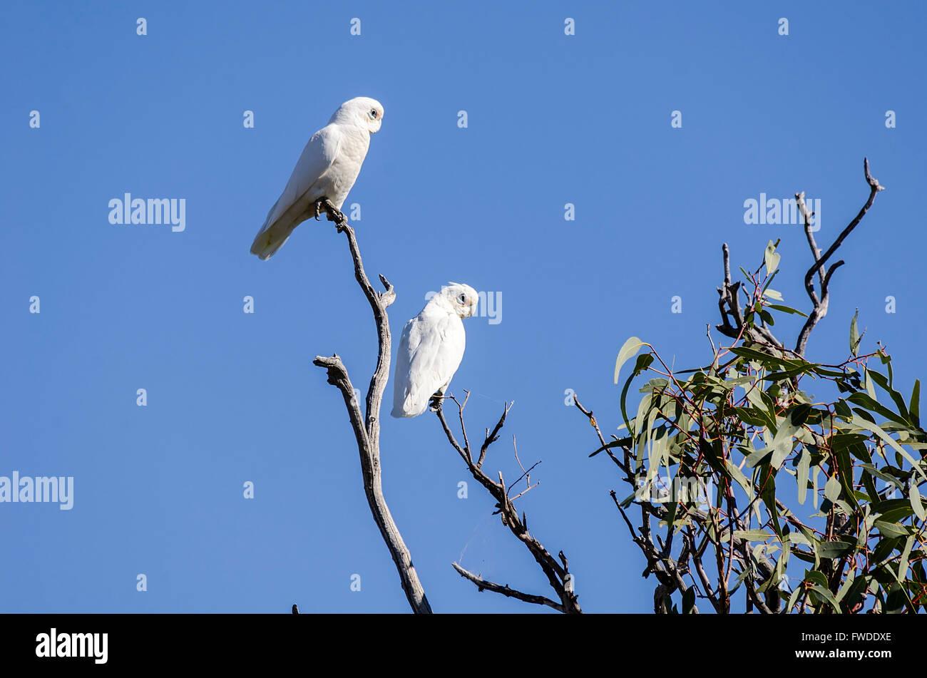 A pair of little corellas Cacatua sanguinea perched in a gum tree queensland australia - Stock Image