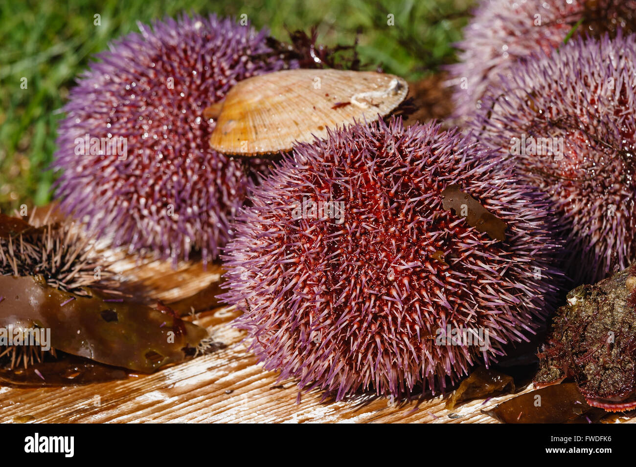 Sea hedgehogs and scallops which have been just caught in the sea - Stock Image