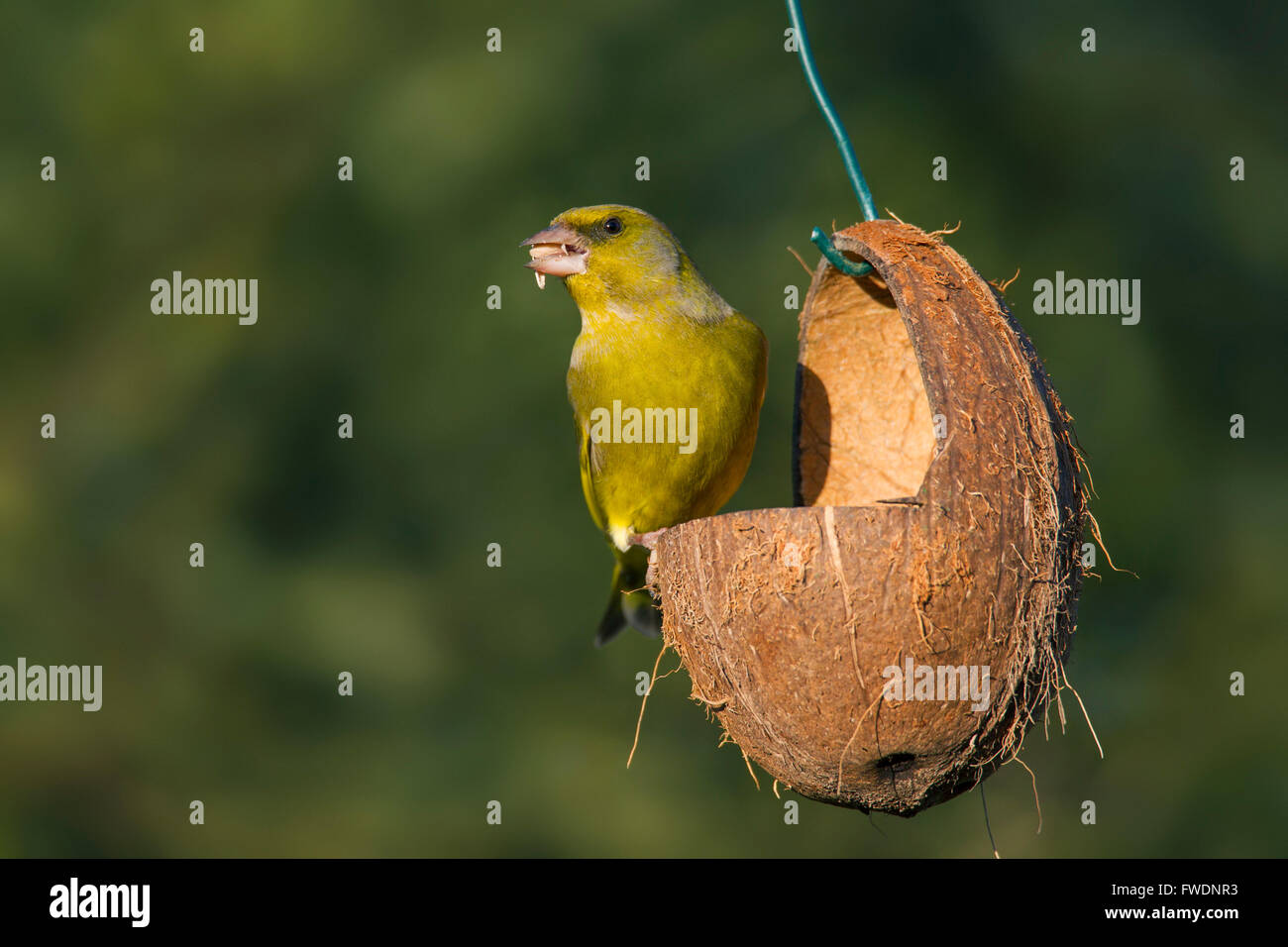 European greenfinch (Chloris chloris / Carduelis chloris) eating seed at garden bird feeder - Stock Image