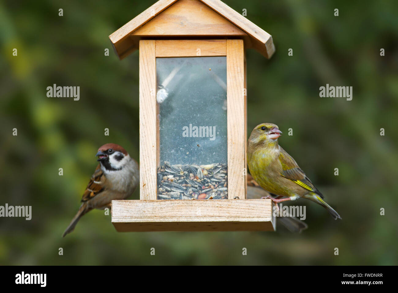 European greenfinch (Chloris chloris / Carduelis chloris) and tree sparrows (Passer montanus) feeding at garden - Stock Image