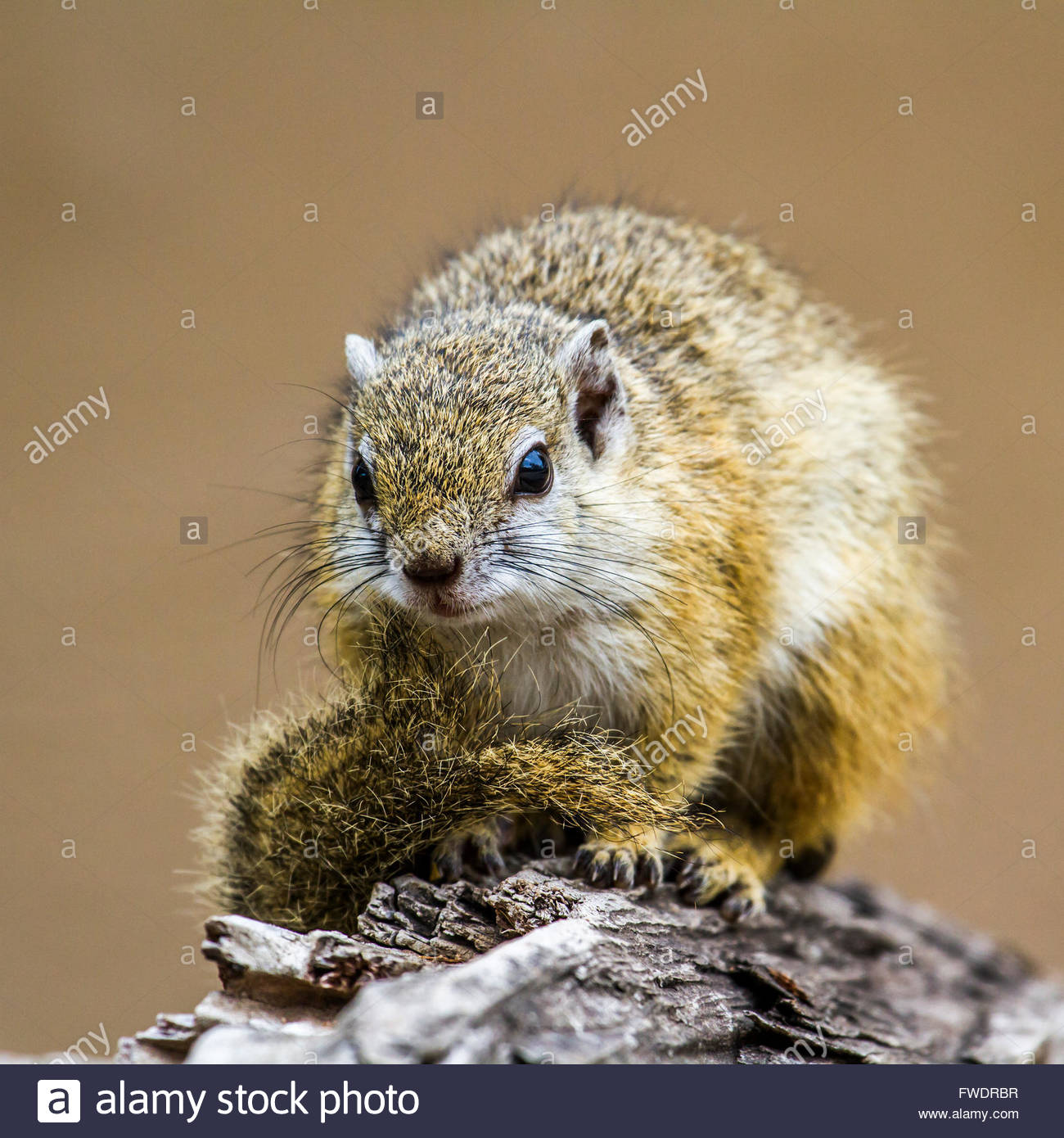 Smith's bush squirrel in Kruger national park, South Africa ; Specie Paraxerus cepapi family of Sciuridae - Stock Image