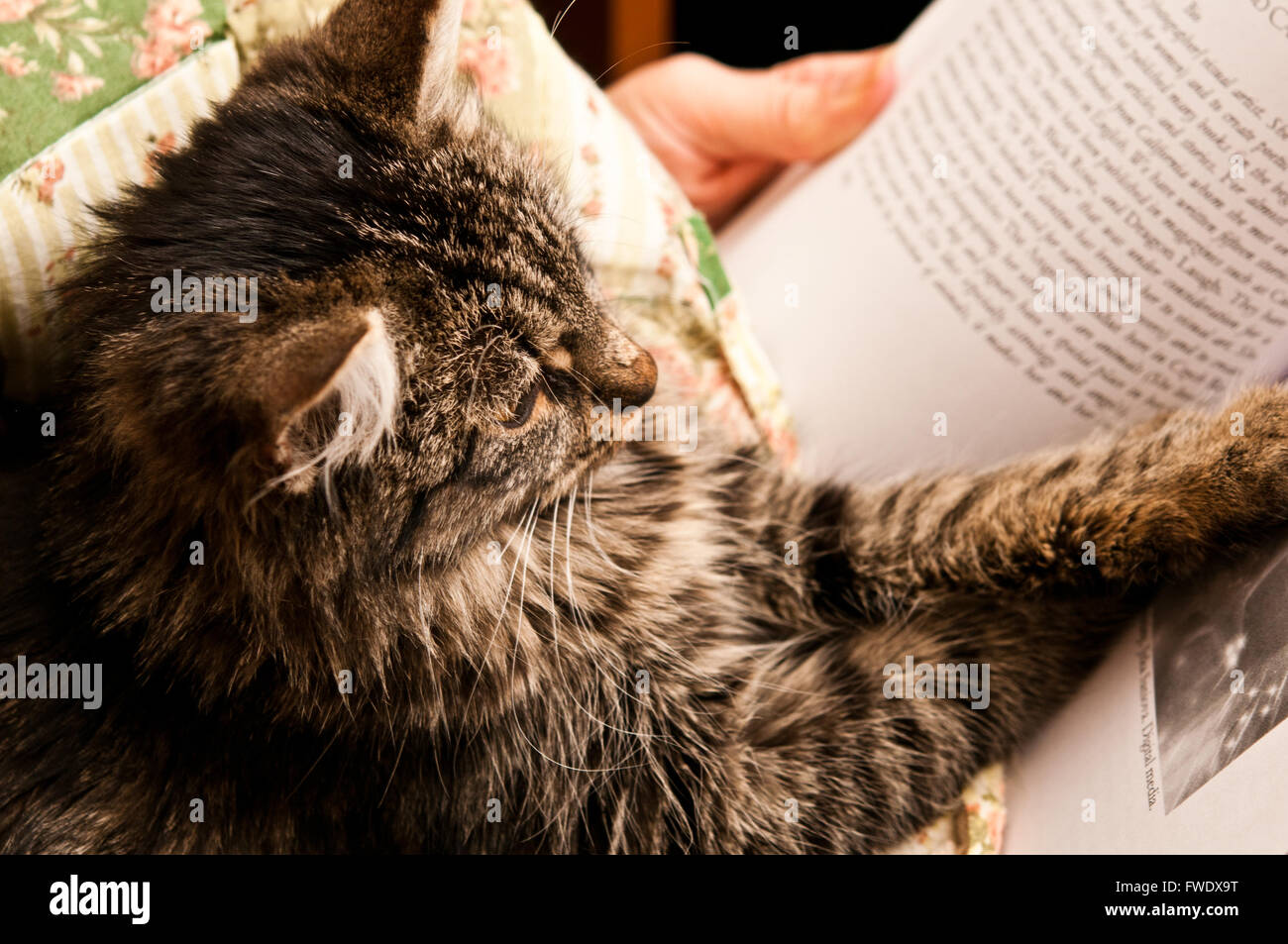 domestic cat reading a book - Stock Image