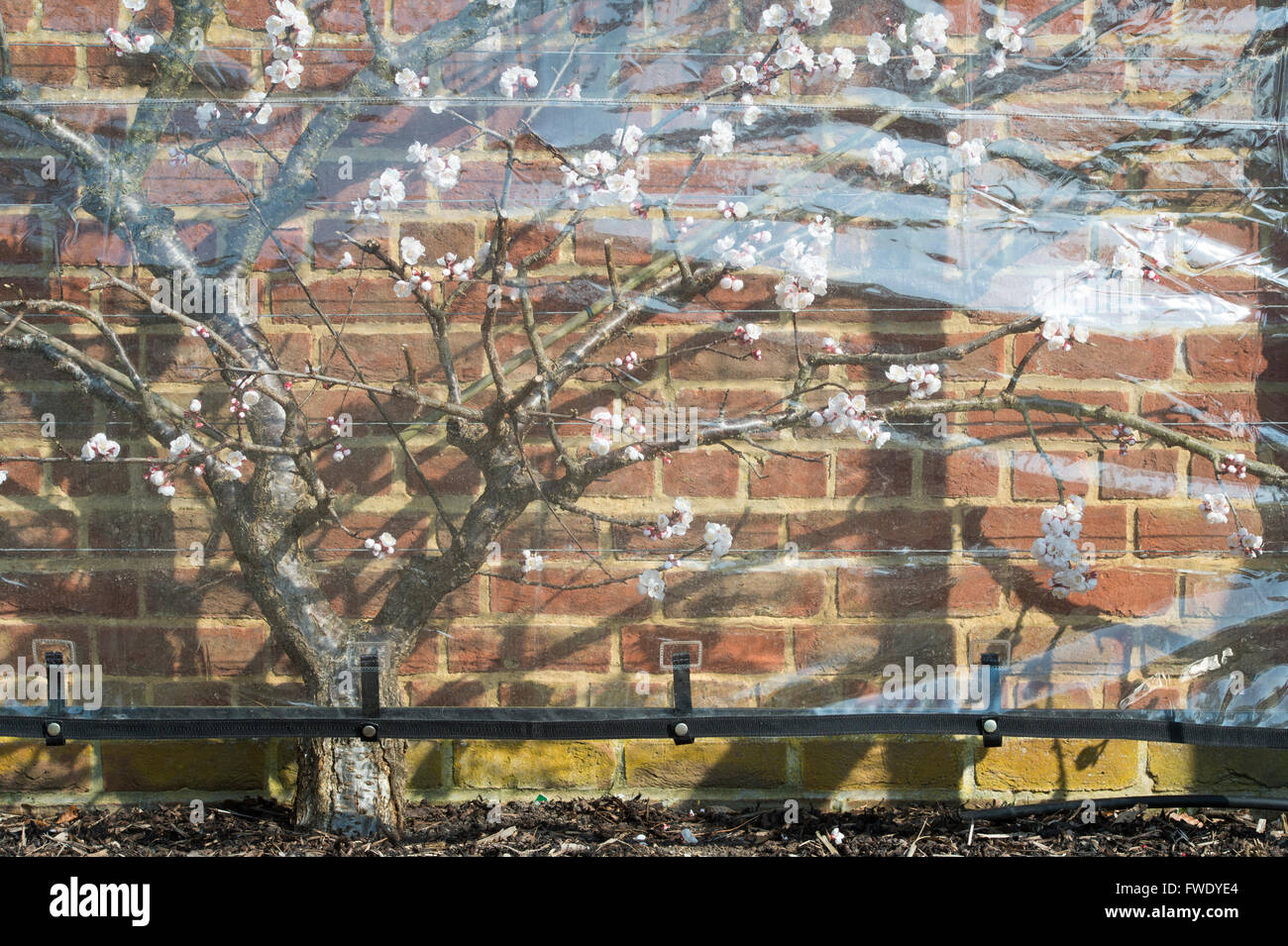 Plastic screen protecting Apricot Delicot Flavorcot blossom at RHS Wisley Gardens. Surrey, UK - Stock Image