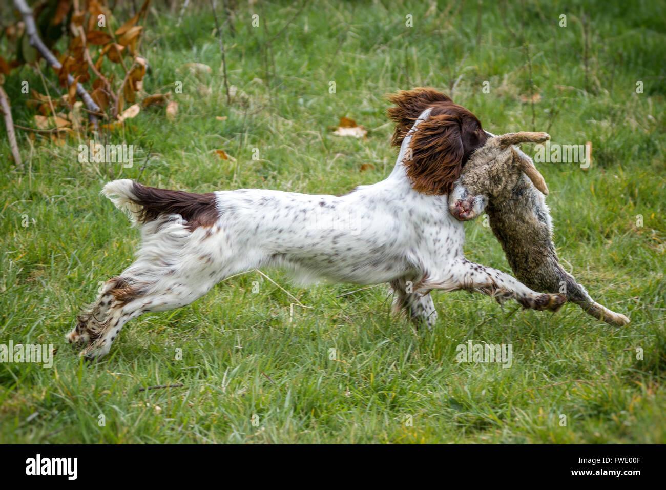 springer spaniel retrieving live rabbit game. - Stock Image