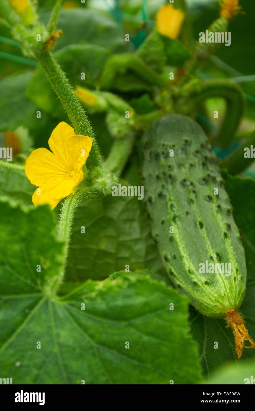 vegetable with yellow flowers