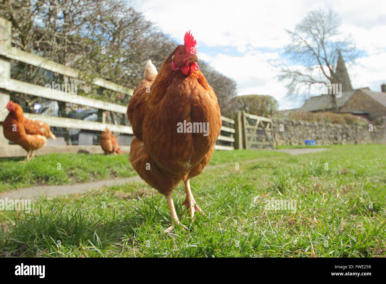 A free range chicken roaming outside in a grass field in the village of Hope, Peak District National Park, Derbyshire - Stock Image