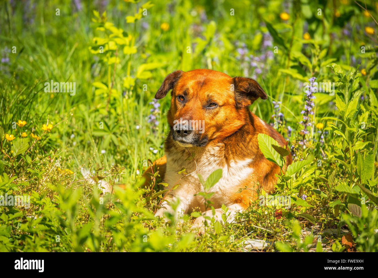 Young dog laying in the meadow grass - Stock Image