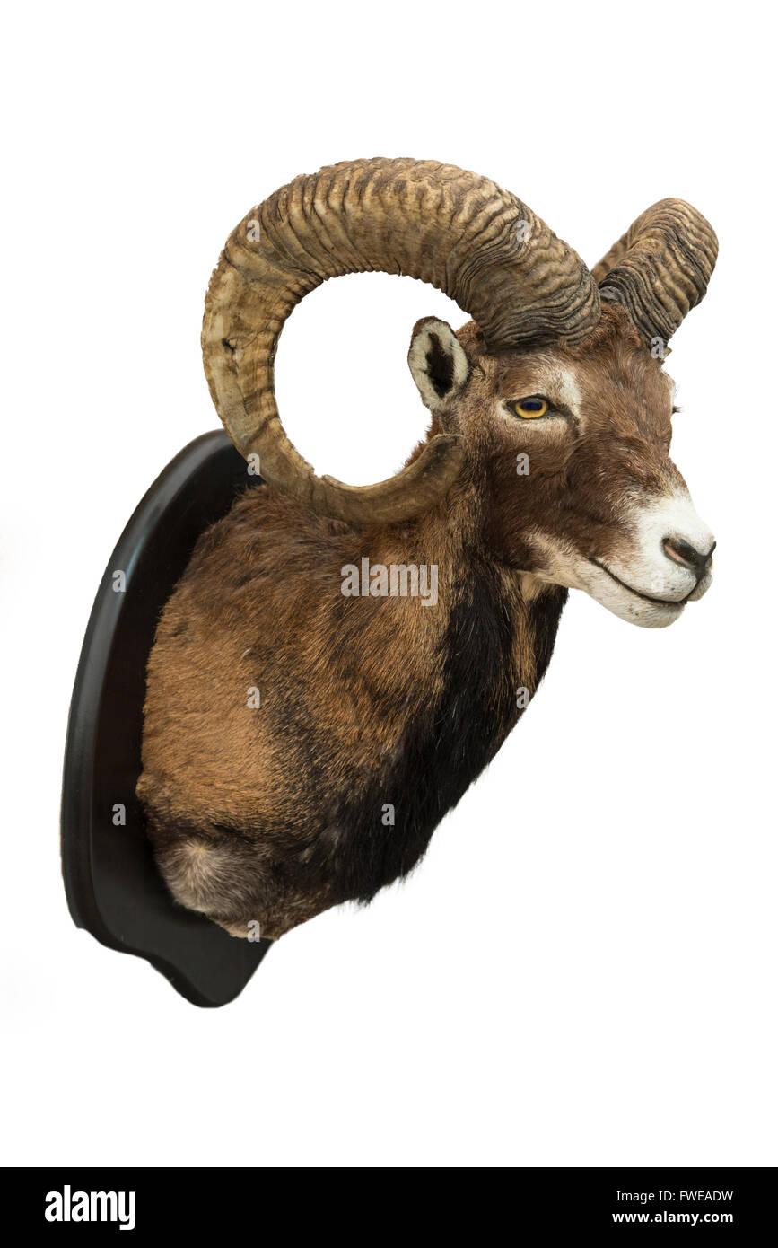 Bighorn Sheep Stuffed Stock Photo 101733797 Alamy