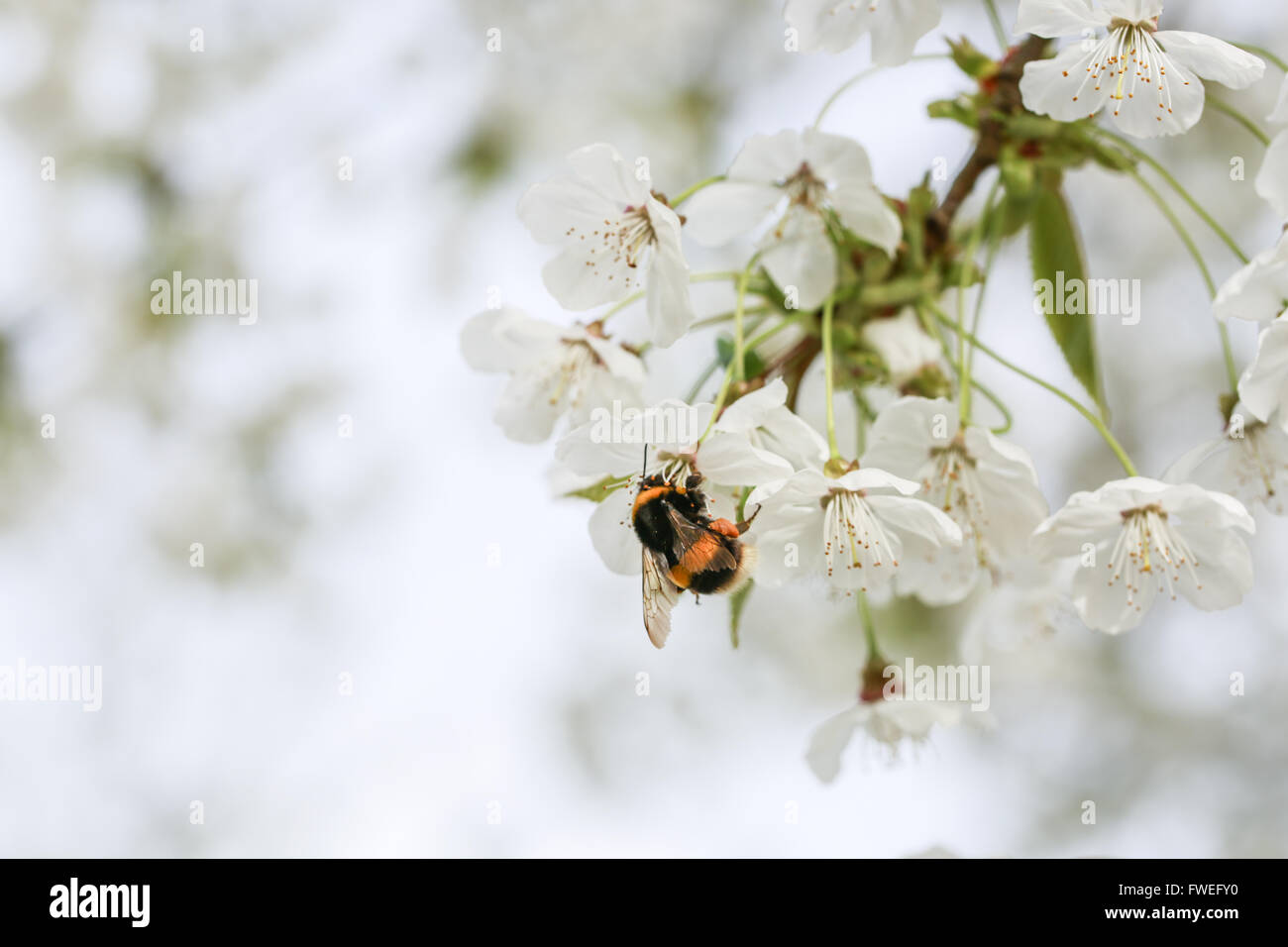 Bumblebee. Save the bees - Stock Image