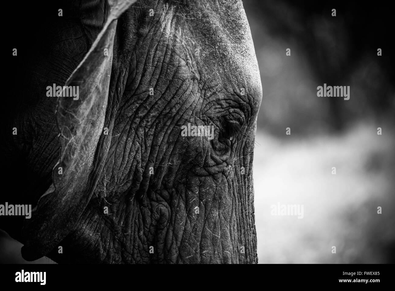 Elephant captured during safari in Tarangire, Tanzania - Stock Image