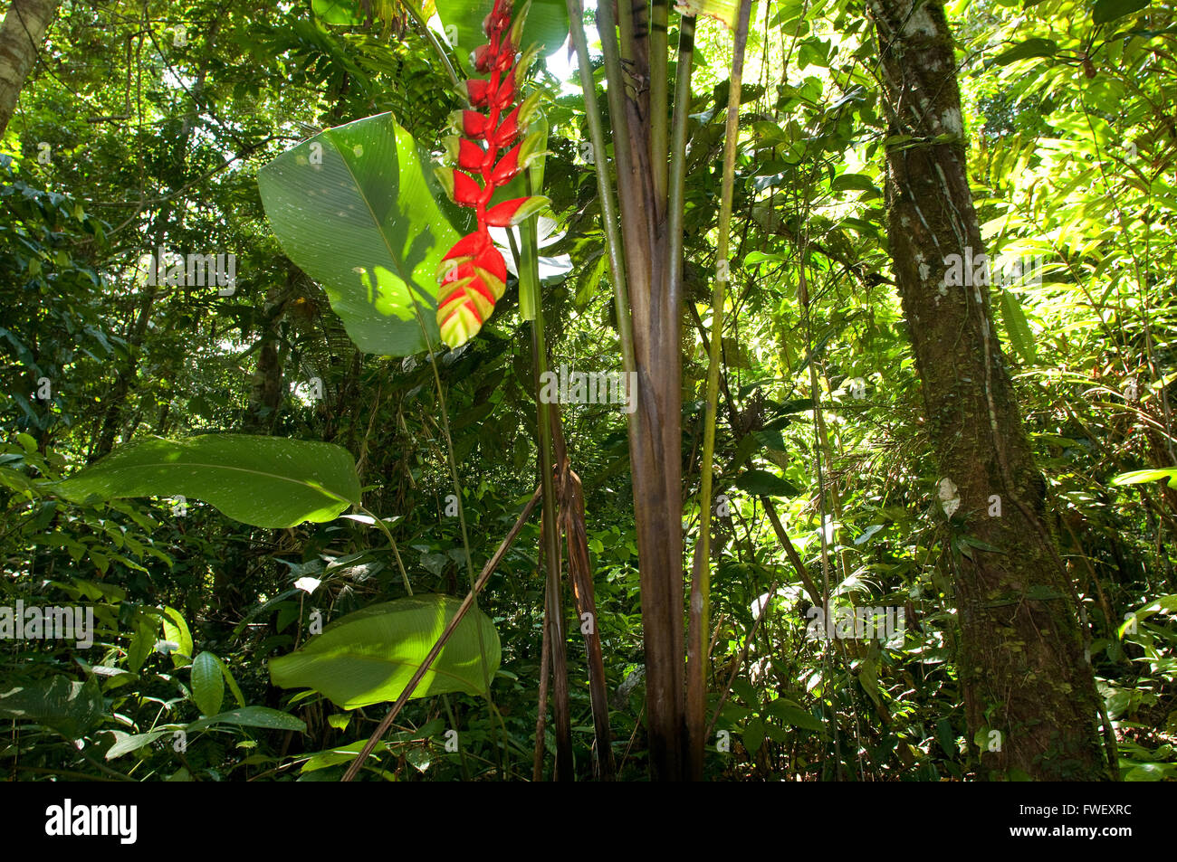 General plane of the Amazon jungle and primary forest with a close up of a heliconia near Iquitos, Amazonian, Loreto, - Stock Image
