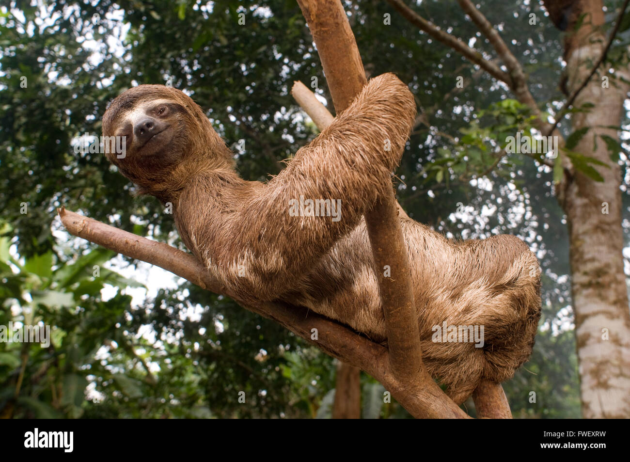 An sloth bear climbed a tree in a primary forest in the Amazon rainforest, near Iquitos, Loreto, Peru. Sloths are - Stock Image