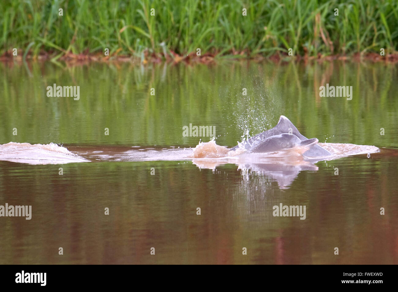 Freshwater pink dolphins in one of the tributaries of the Amazon to Iquitos about 40 kilometers near the town of - Stock Image