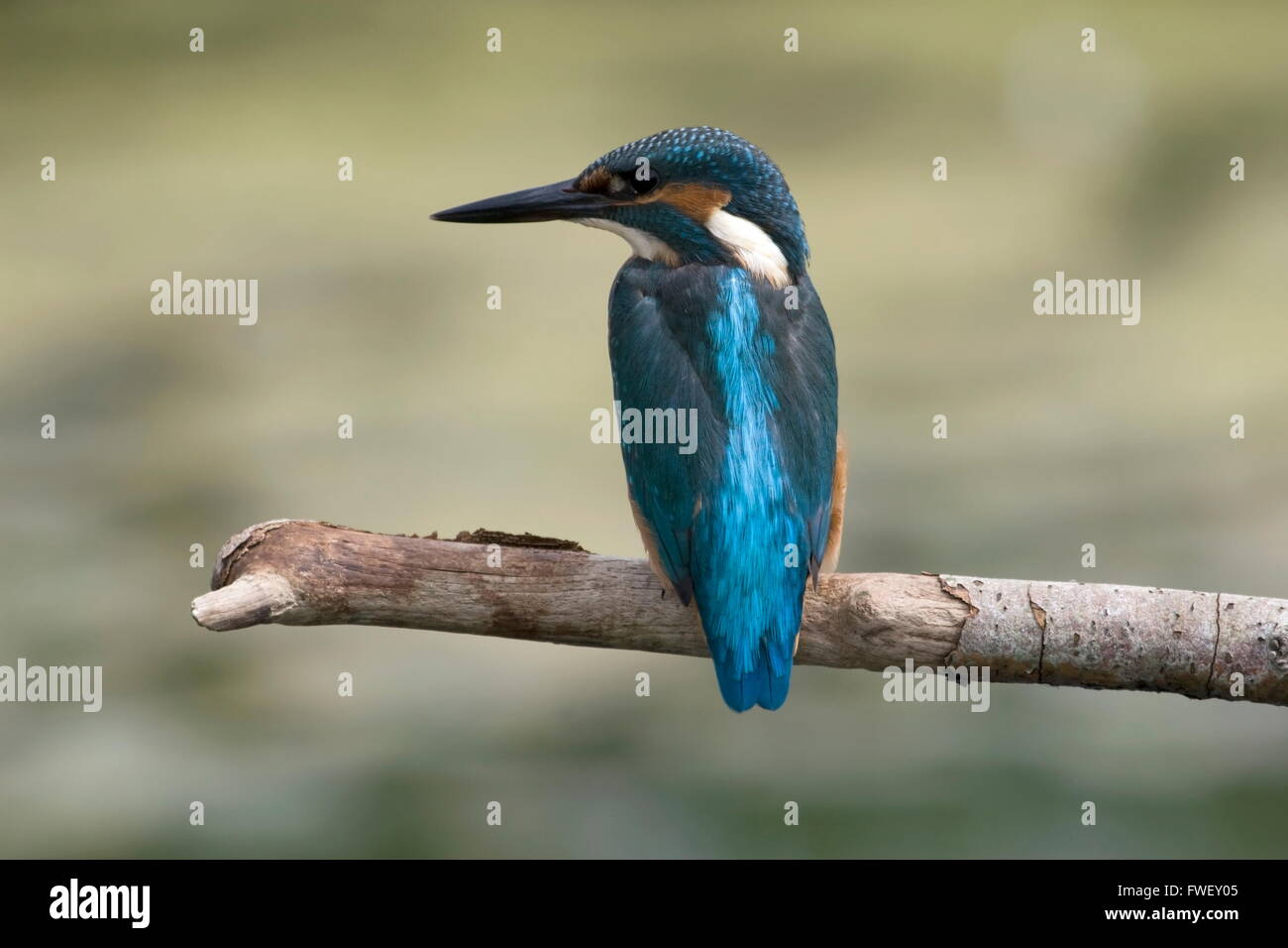 Kingfisher sits on a branch above the water of the old deep, Netherlands - Stock Image