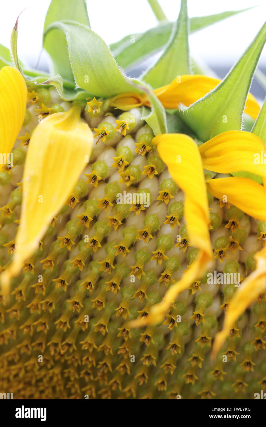 Fresh Sunflower Seeds On Sunflower Crown Stock Photo 101747284 Alamy