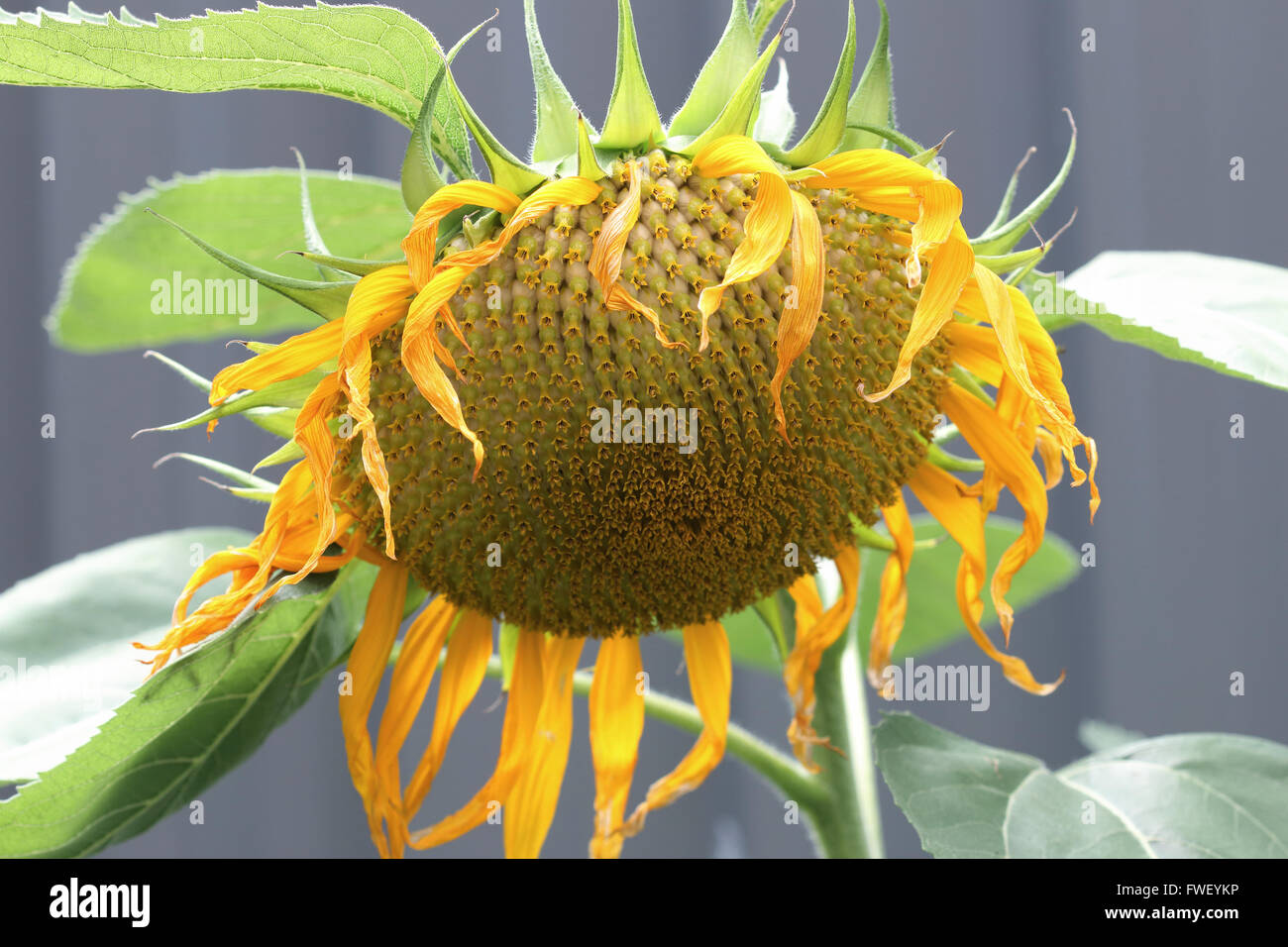 Fresh Sunflower Seeds On Sunflower Crown Stock Photo 101747290 Alamy