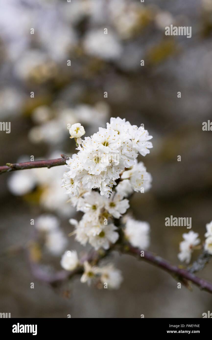 Prunus spinosa 'Plena' flowers in Spring. - Stock Image