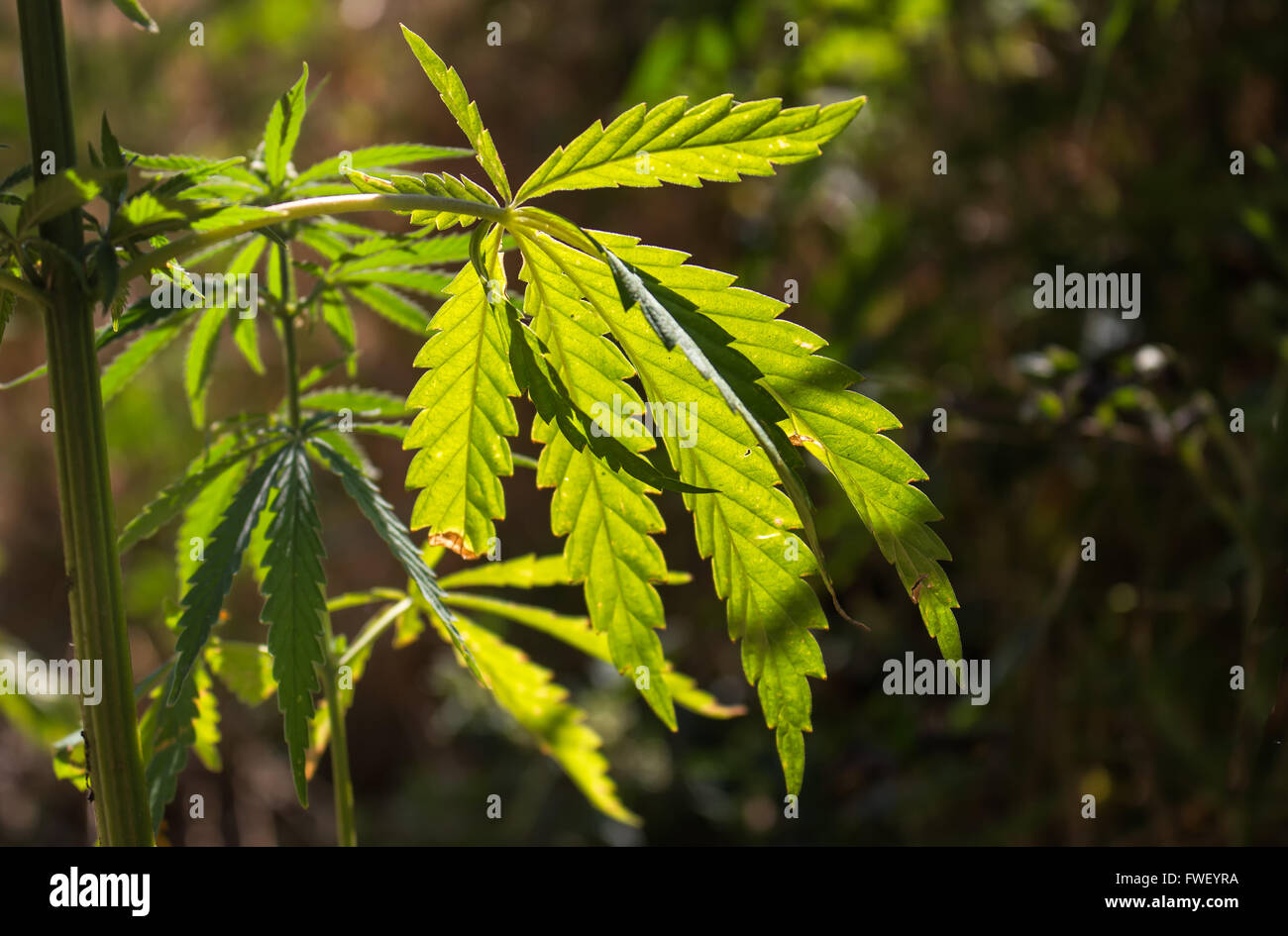 Fresh cannabis leaf growing in the nature, enlightened by the morning sunlight. - Stock Image