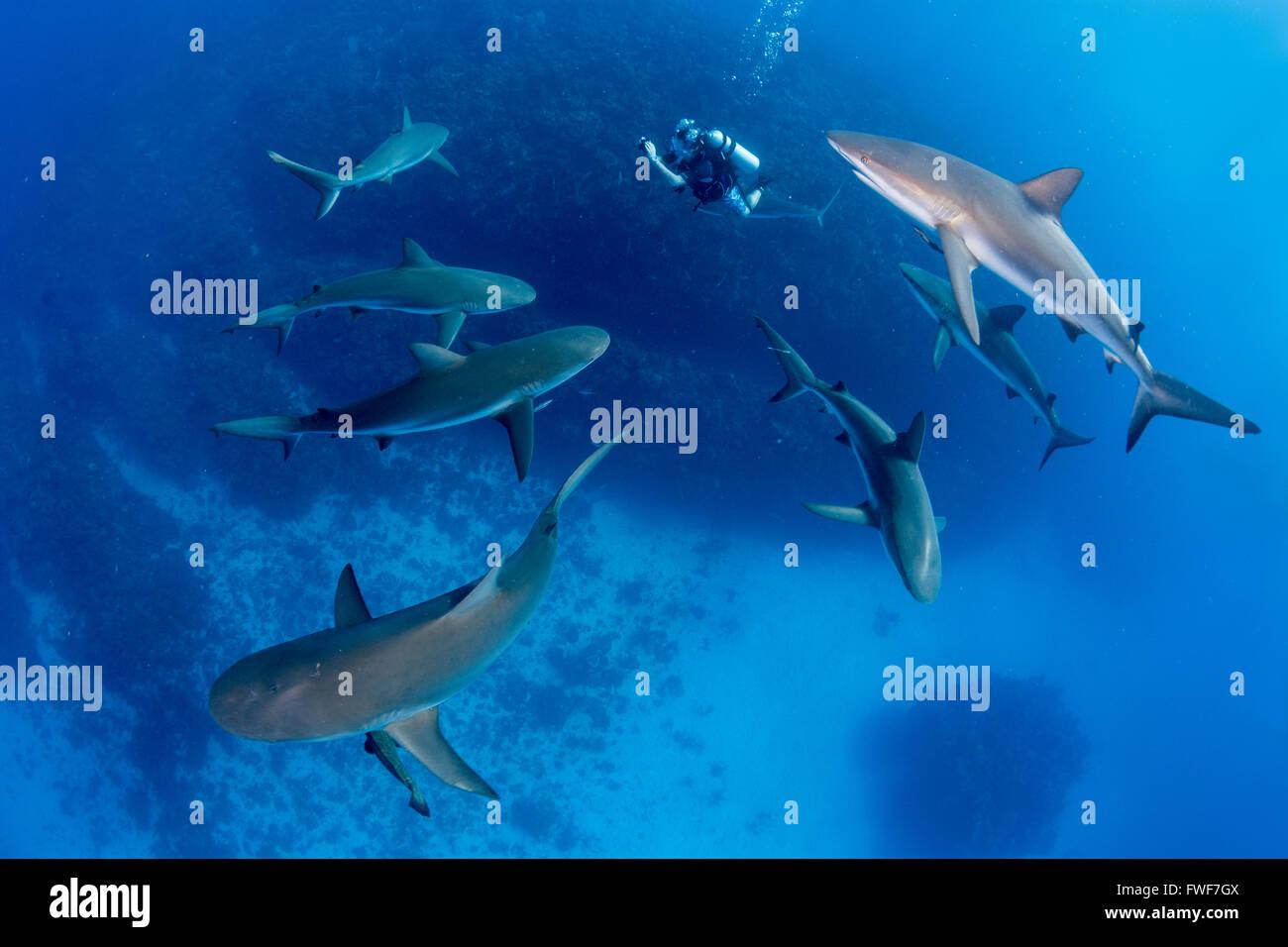 Caribbean reef sharks, Carcharhinus perezi, Jardines de la Reina, Cuba, Caribbean Sea Stock Photo
