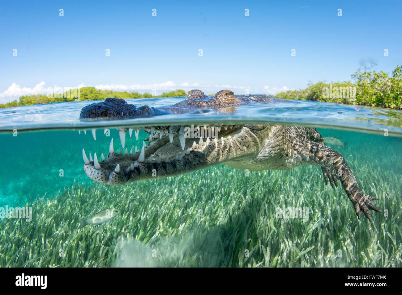 saltwater crocodile, Crocodylus porosus, Jardines de la Reina, Cuba, Caribbean Sea - Stock Image
