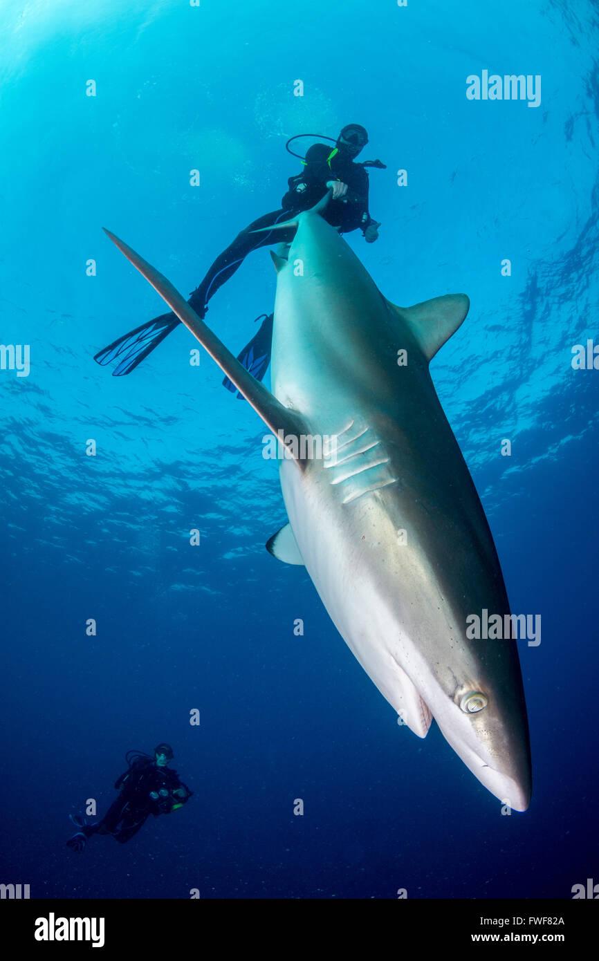 Silky sharks, Carcharhinus falciformis, Jardines de la Reina, Cuba, Caribbean Sea - Stock Image