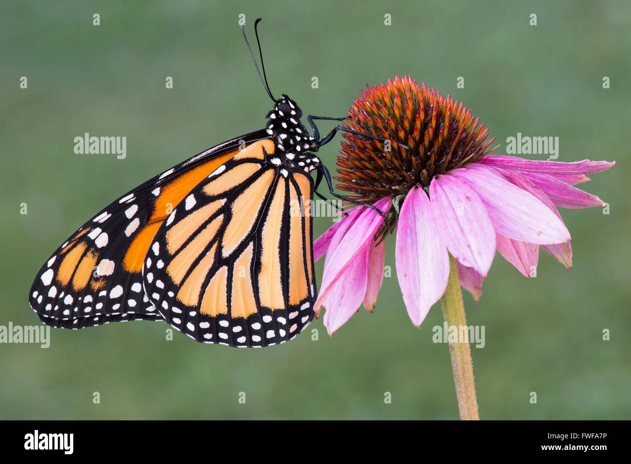 Monarch Butterfly Danaus plexippus adult  resting on Purple Coneflower (Echinacea purpurea) Michigan USA - Stock Image