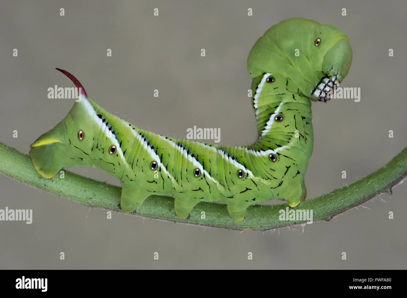 Tomato Hornworm Moth or Five-Spotted Hawkmoth caterpillar, larvae, (Manduca quinquemaculata)  on Tomato plant, Eastern - Stock Image