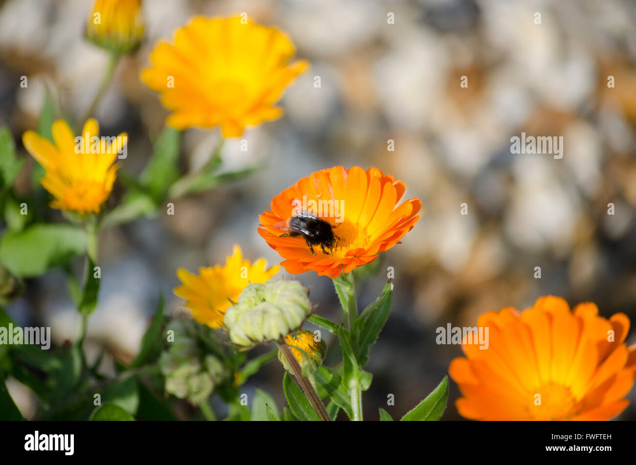 Bee on a marigold at the graveyard at Teaghlach Éinne (Enda's Household), Inishmore Island, Ireland. Stock Photo