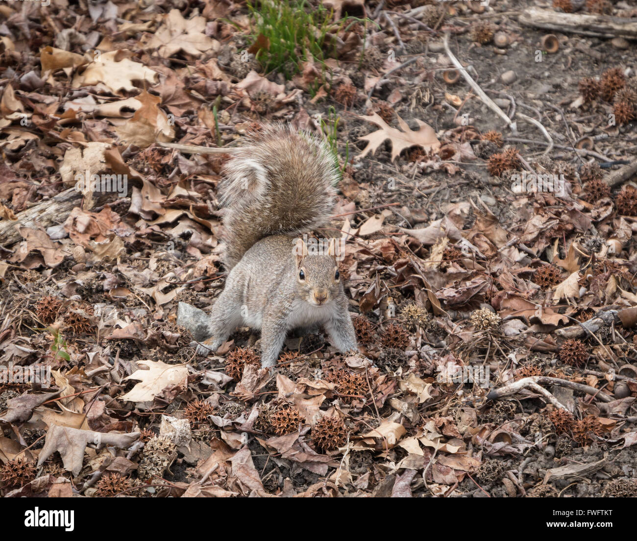 Grey Squirrel (Sciurus carolinensis) looking alert directly at camera on the ground covered with dead leaves in - Stock Image