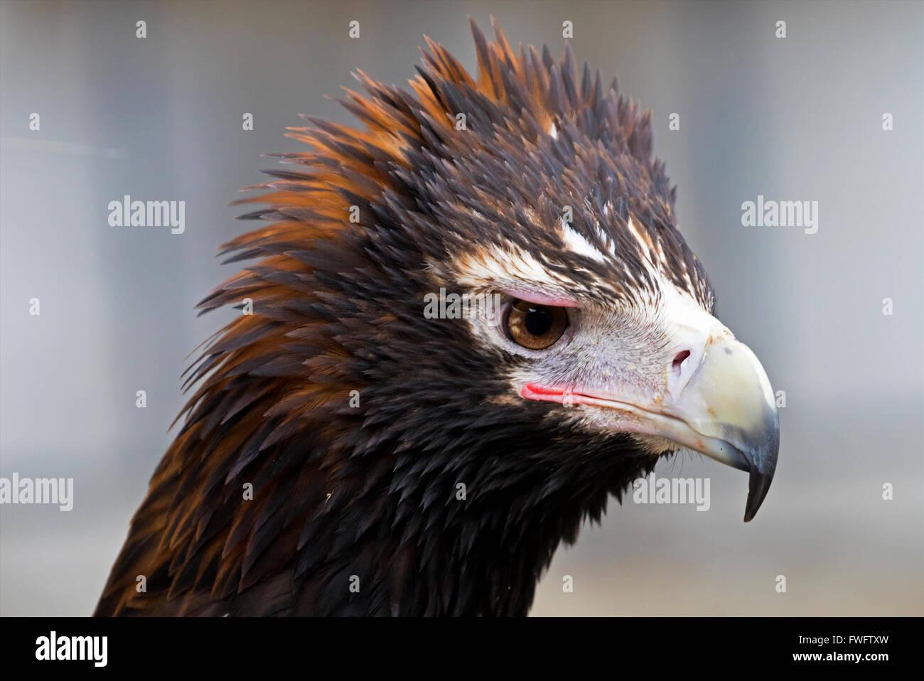 wedge tailed eagle - Stock Image