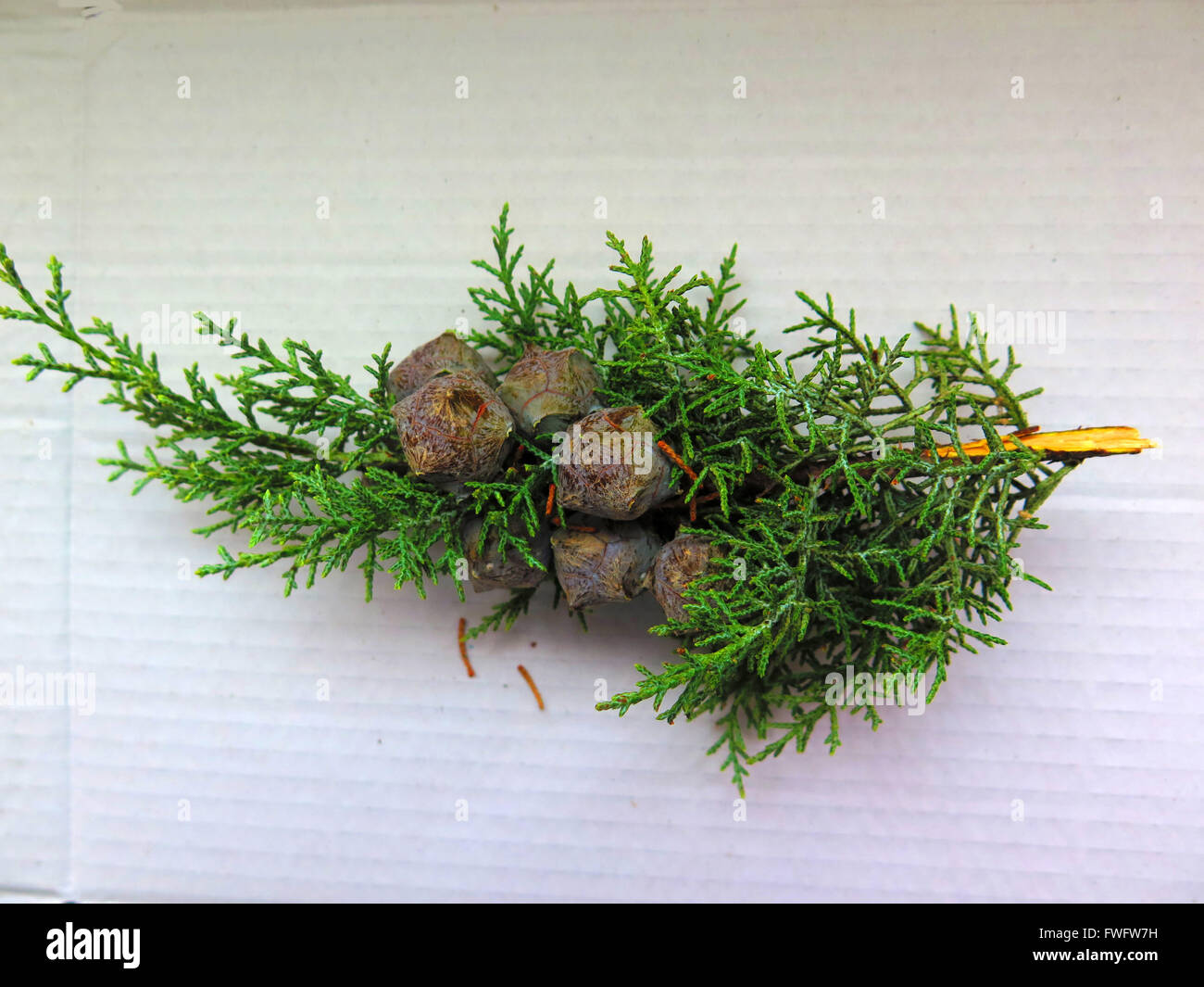 picked Small pine cones on twig in sunshine - Stock Image