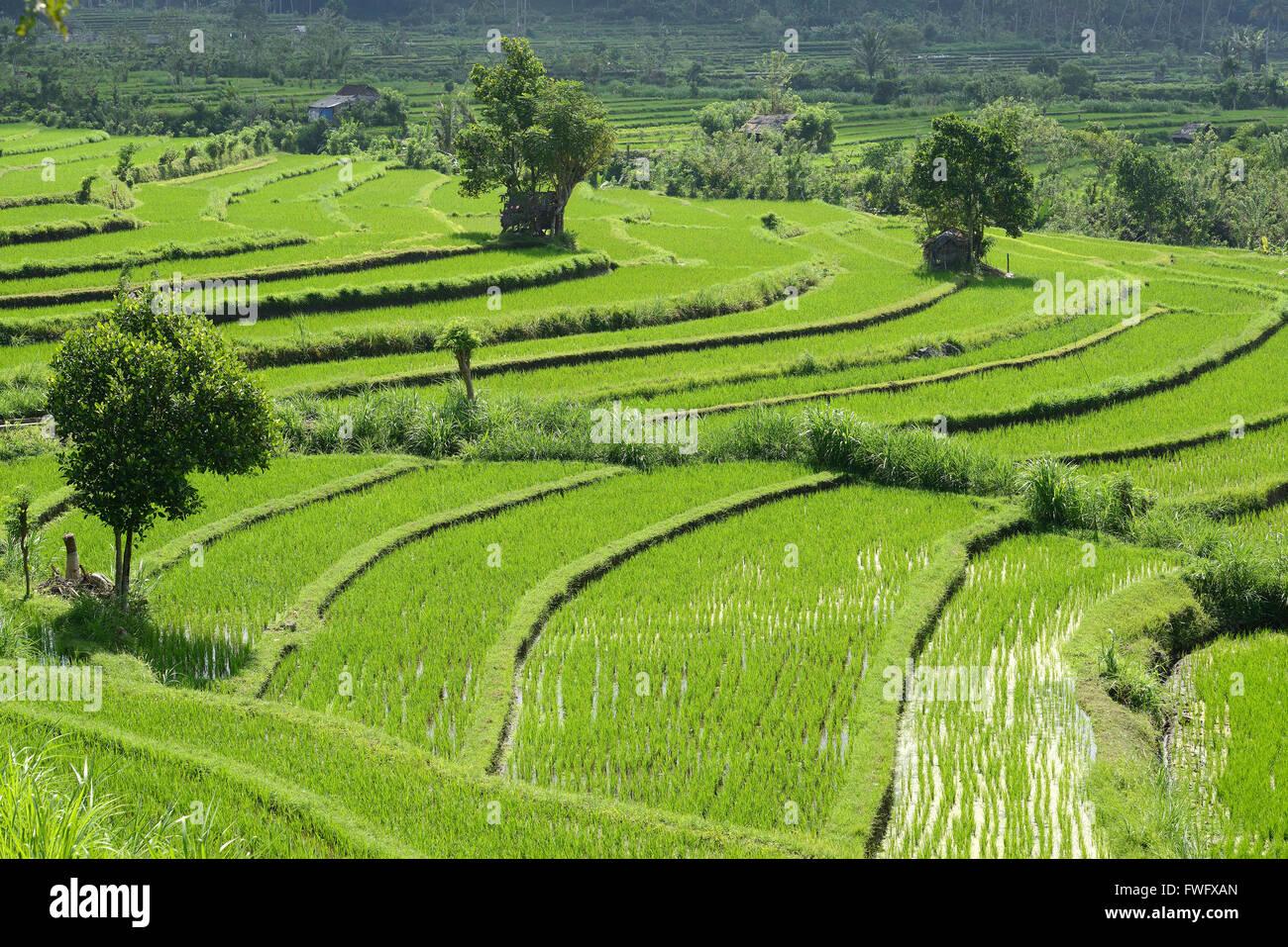 Rice terraces, Bali, Indonesia - Stock Image