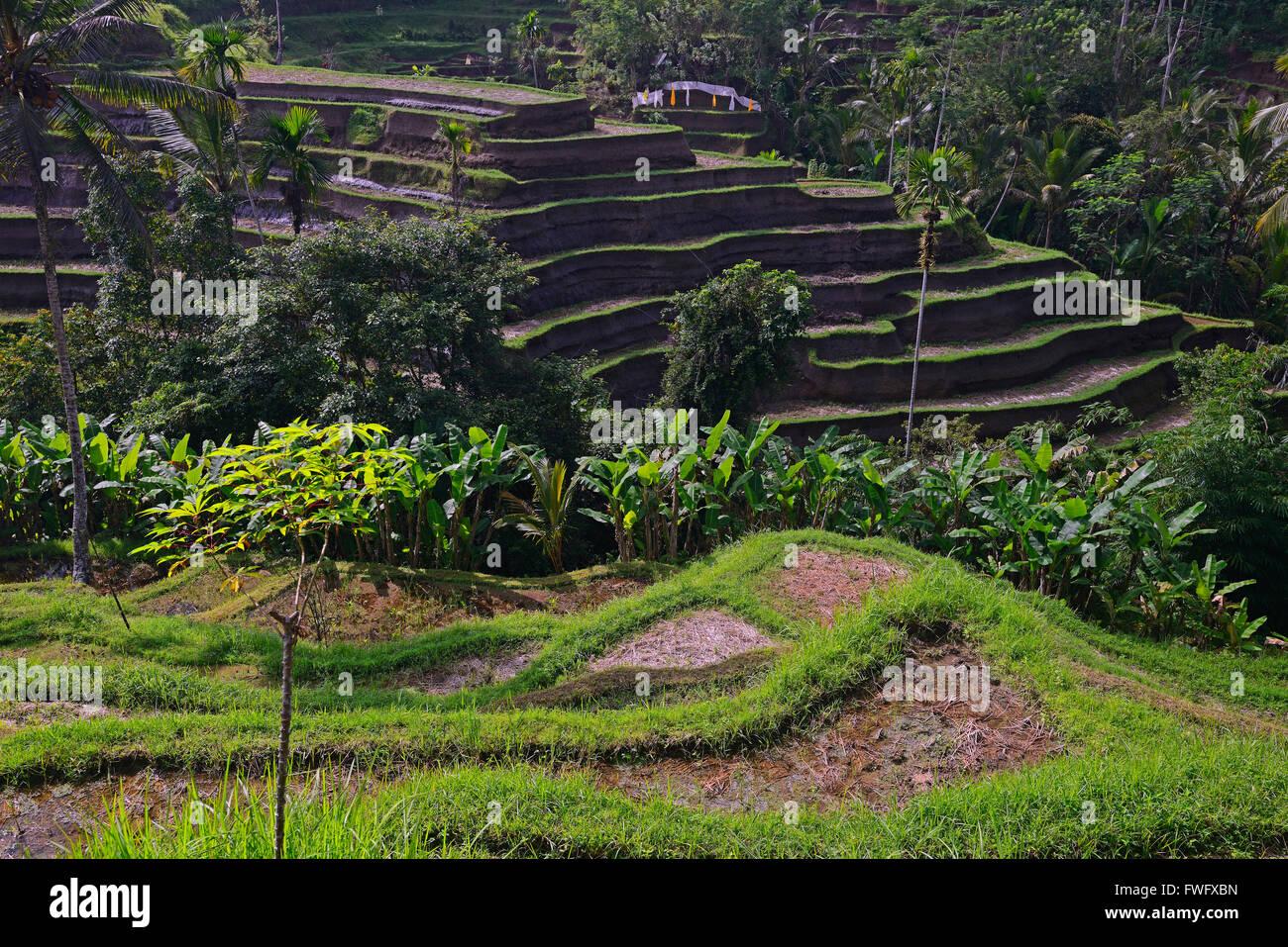 Reisterassen bei Tegallalang, Bali, Indonesien - Stock Image
