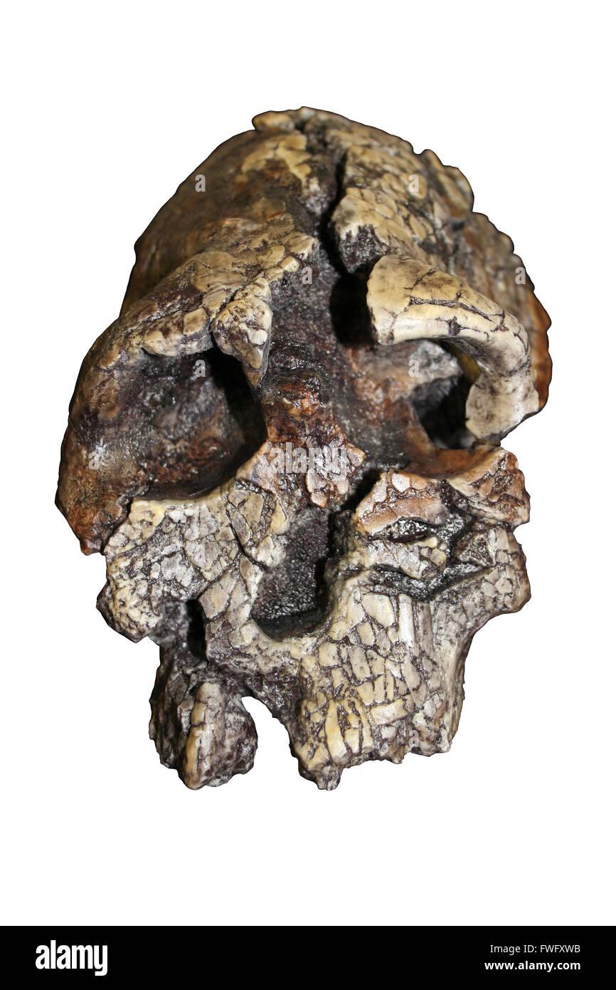 Kenyanthropus platyops - Stock Image