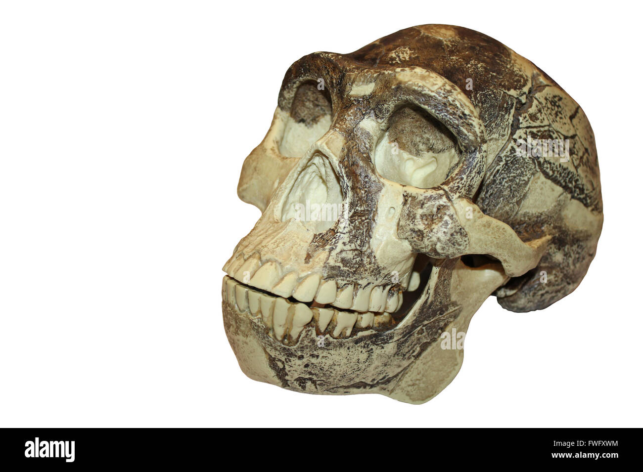 'Peking Man' Zhoukoudian (Choukoutien) Homo erectus Skull - Stock Image