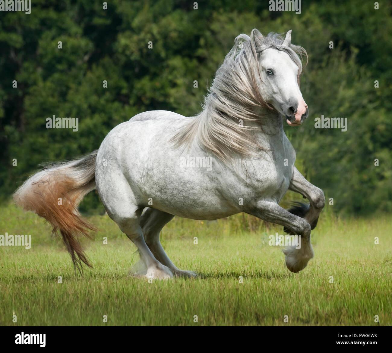 Gypsy Cob Horse mare gallops - Stock Image