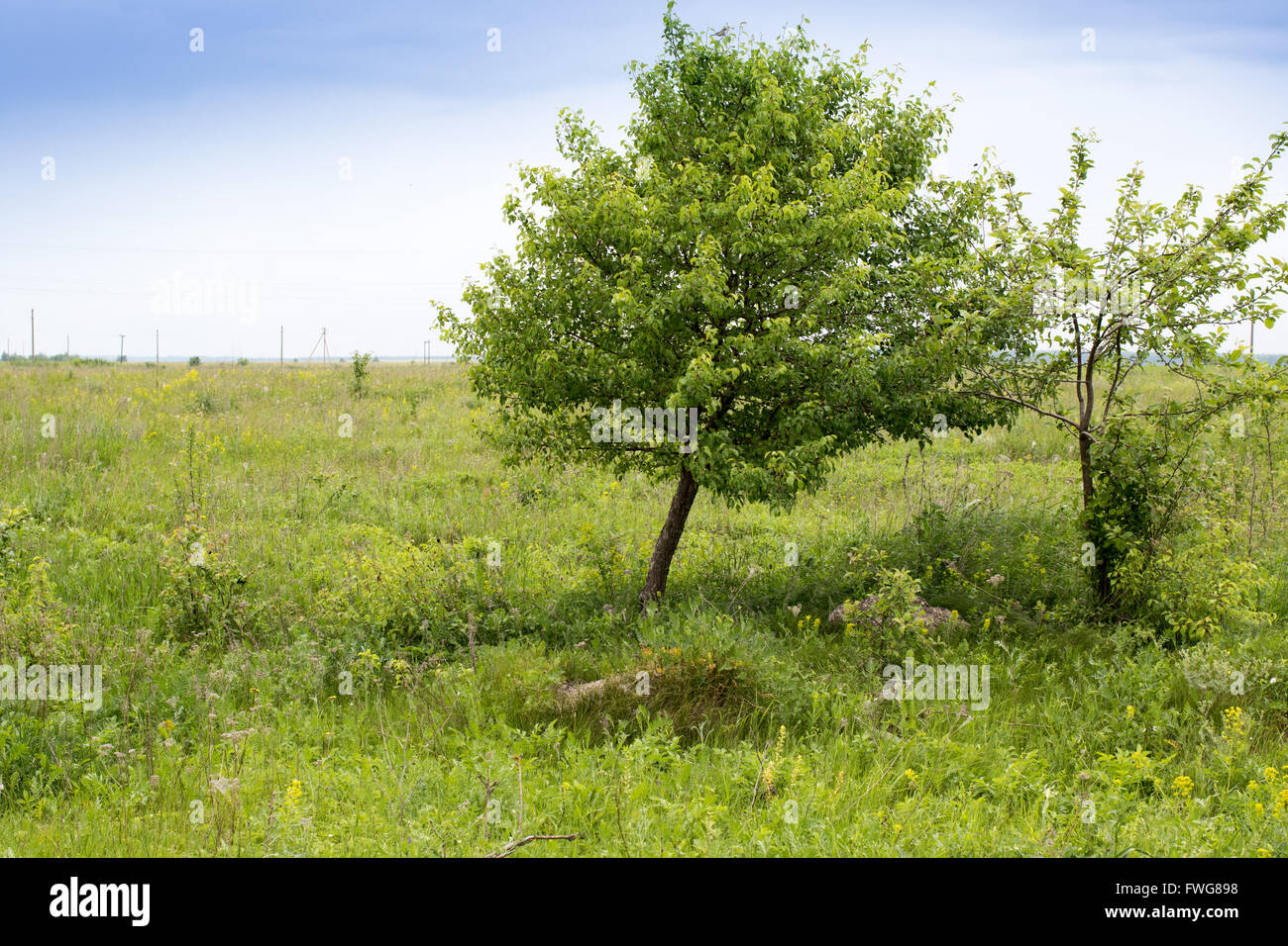 Emberiza hortulana. The nest of the Ortolan Bunting in nature. Russia, the Ryazan region (Ryazanskaya oblast), the - Stock Image