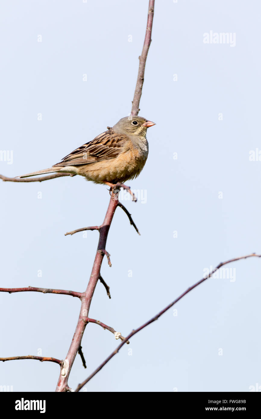 Ortolan Bunting (Emberiza hortulana). Russia, the Ryazan region (Ryazanskaya oblast), the Pronsky District, Denisovo. - Stock Image