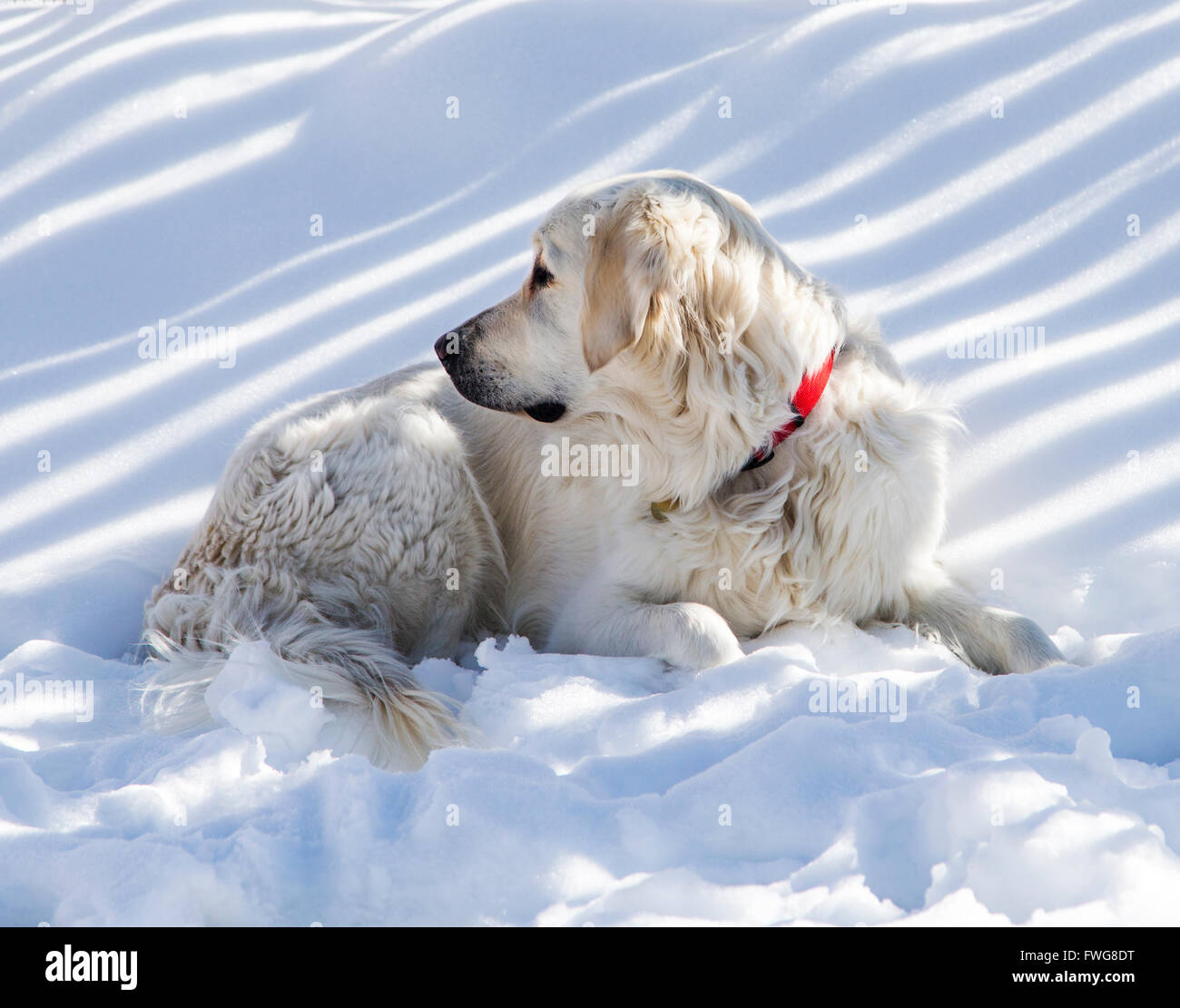 Platinum colored Golden Retriever dog in snow. - Stock Image