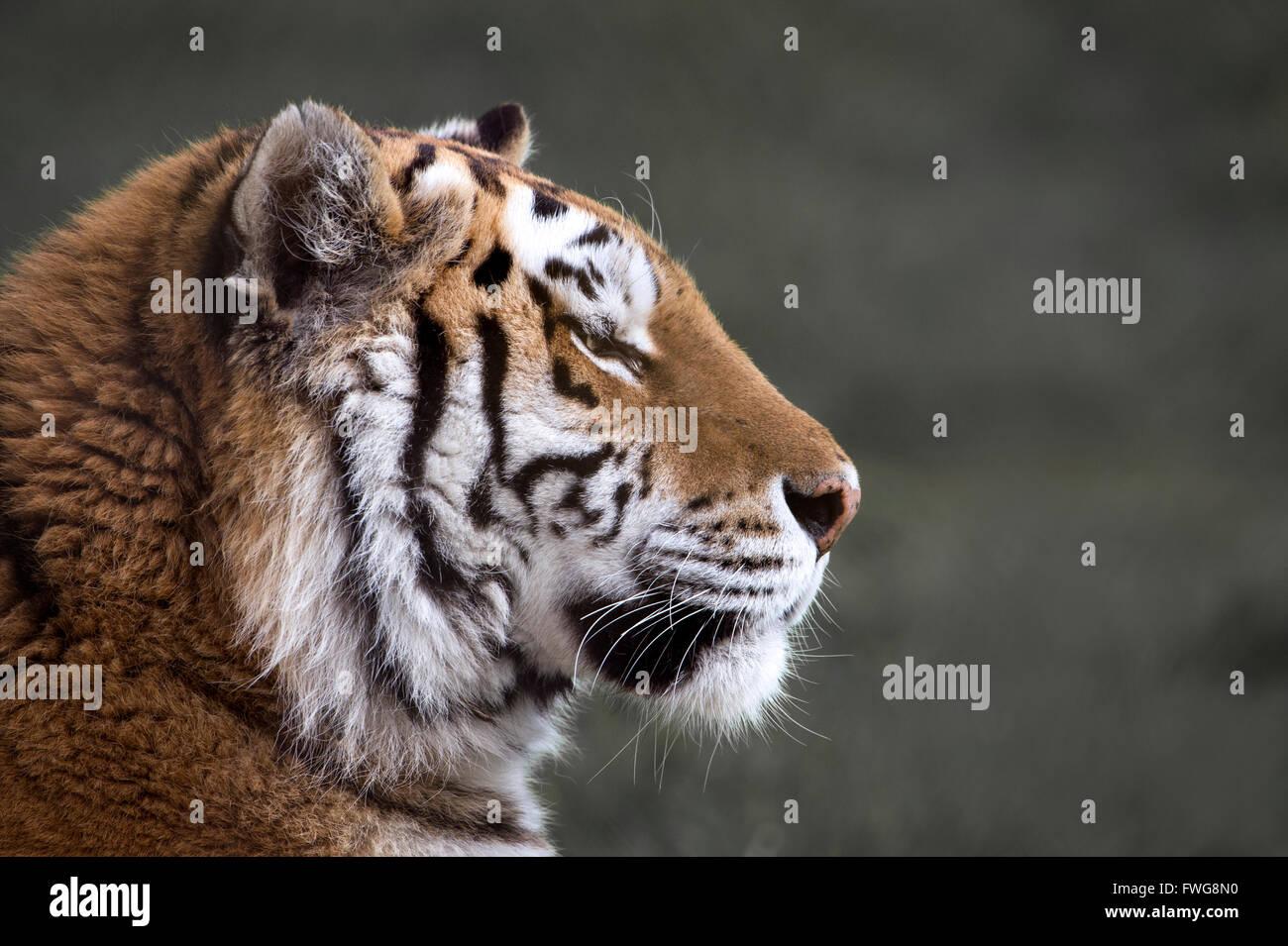 Female Amur (Siberian) tiger (profile) - Stock Image