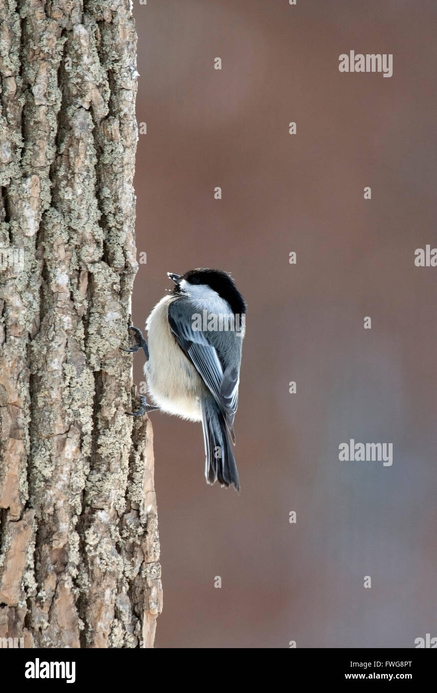 Black capped chickadee clings to tree trunk - Stock Image