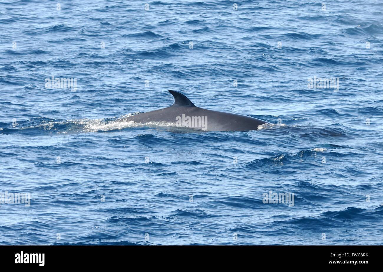 The back and dorsal fin of an Antarctic Minke Whale (Balaenoptera bonaerensis). Hope Bay,  Trinity Peninsula,  Antarctic Peninsula, Antarctica. 02Mar1 Stock Photo