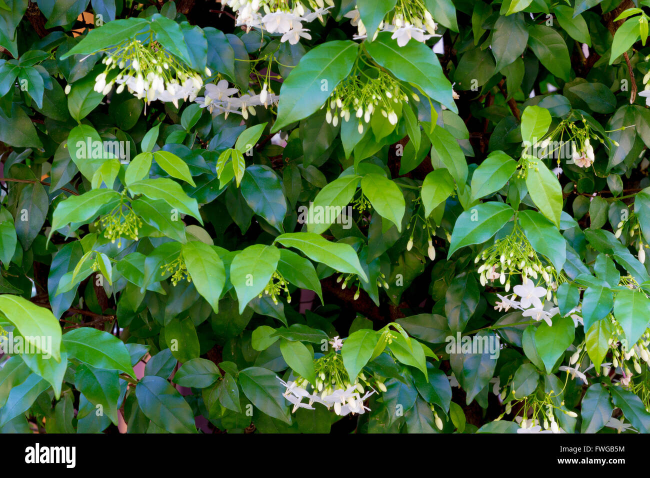 Wrightia Religiosa Stock Photos Wrightia Religiosa Stock Images