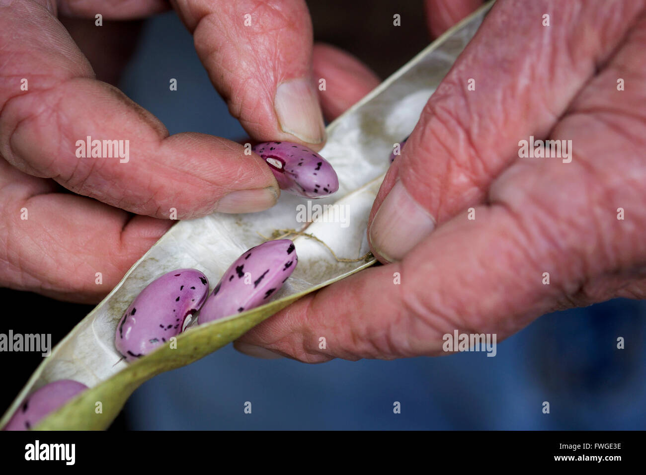 A man taking runner bean seeds out of the dried pods. - Stock Image
