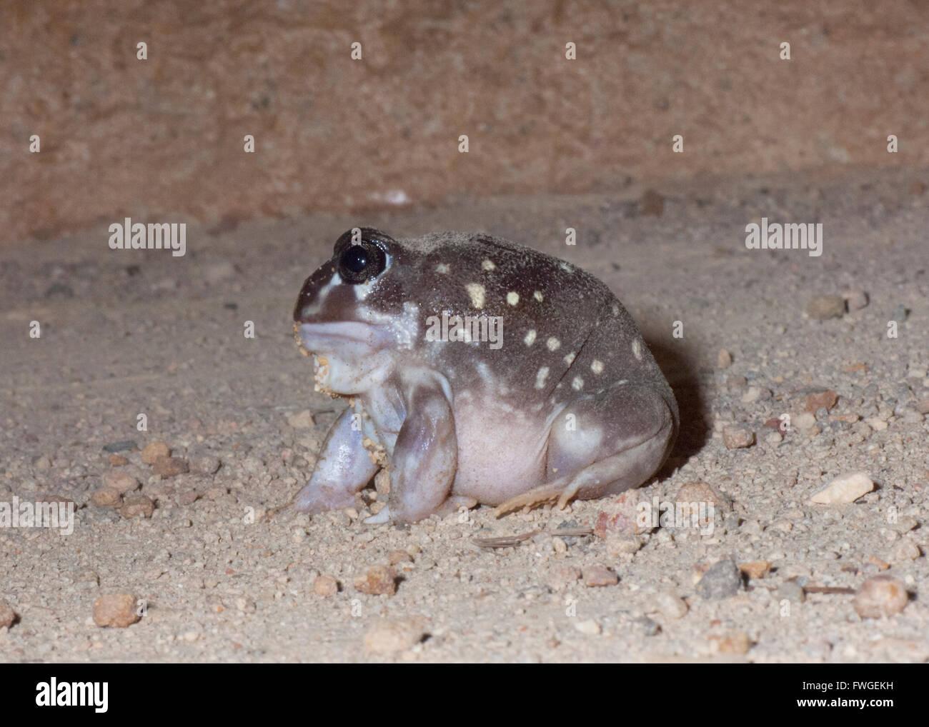 Western Spotted Frog (Heleioporus albopunctatus), Western Australia, Australia Stock Photo
