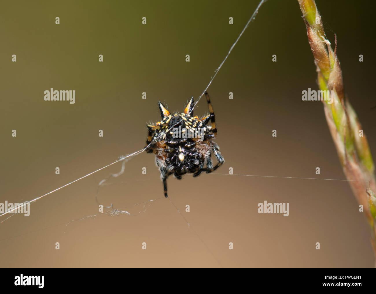 Underside of an Australian Jewel Spider (Austracantha minax), Western Australia, Australia - Stock Image